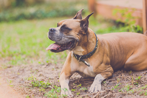 © Hot Dog! Pet Photography | happy-dog, Brown-Boxer-laying-in-dirt