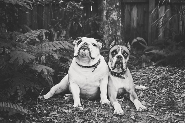 © Hot Dog! Pet Photography | Best Buddies, Lifestyle-dog-photography, English-Bulldog, Boxer
