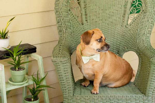 © Alice G Patterson Photography | overweight-dog-wearing-bow-tie, chubby-Puggle, weight loss in dogs, helping dogs lose weight