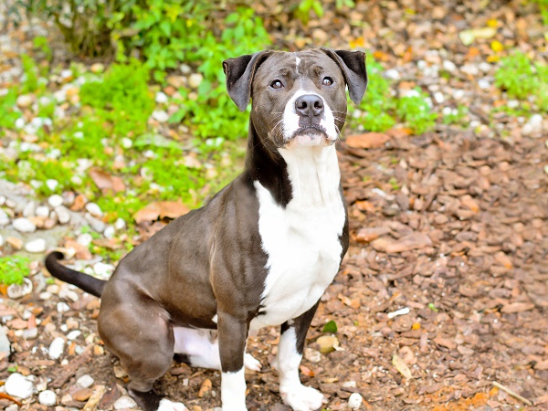 © Simply Pawfect Photography | Photographer helps-homeless-pets, Handsome-dog, Adoptable-Pit-bull-terrier