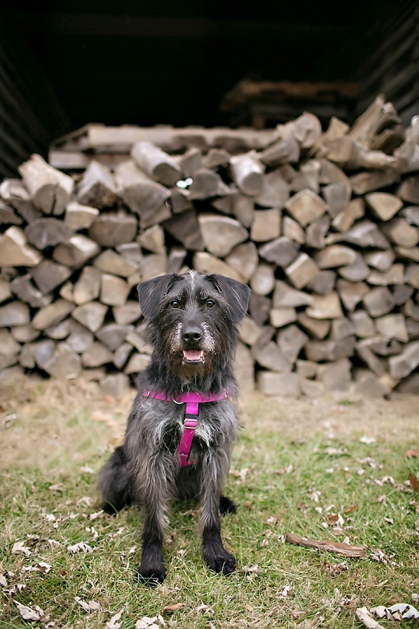 © April Ziegler Photography | beareded dog in front of woodpile, adorable-mutt