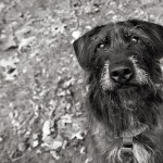 black-white-pet-photography, Lab/Terrier mixed breed, bearded dog