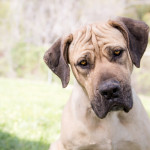 Adoptable-Mastiff Boerboel mixed breed