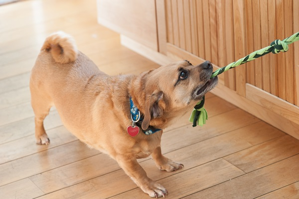© Daily Dog Tag | rescue-Puggle-playing-tug-of-war, Long-Live-Pets