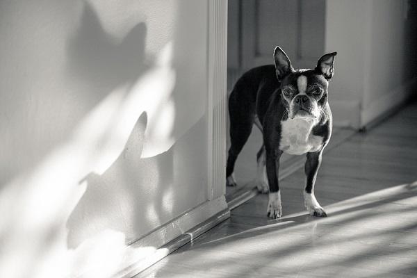 © Hannele Lahti,  A Dog Photographer | Boston in hallway, dog shadow, photojournalism, senior Boston Terrier