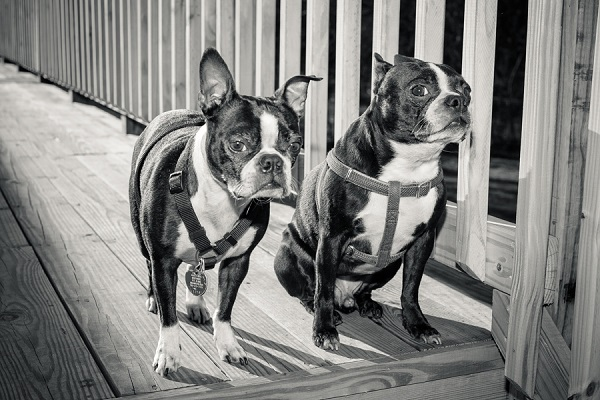 © Hannele Lahti| Washington DC dog photographer, Bostons on deck