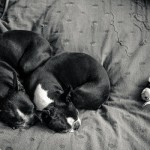 Boston Terriers snuggling