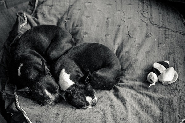 © Hannele Lahti, A Dog Photographer | Boston Terriers snuggling