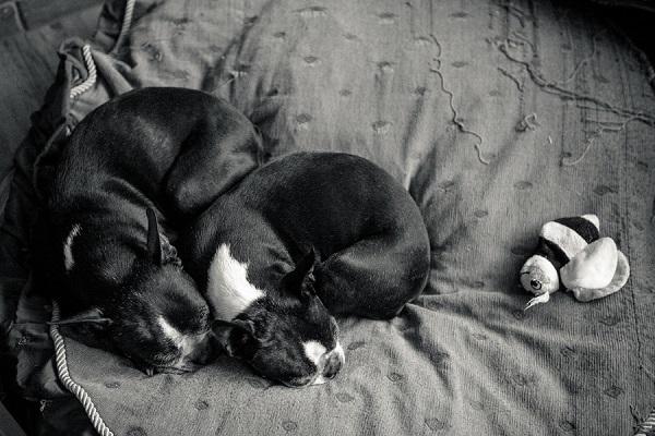 © Hannele Lahti, A Dog Photographer | Boston Terriers snuggling