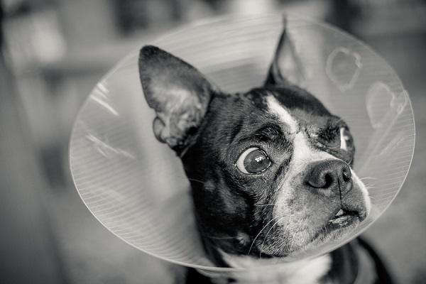 © Hannele Lahti, A Dog Photographer | Boston in a cone, Murray after surgery, black white dog portraits