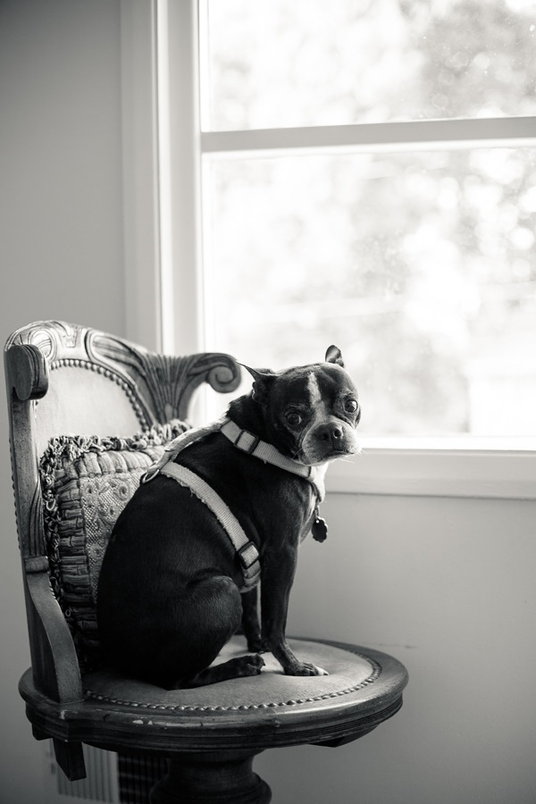 © Hannele Lahti, A Dog Photographer | Boston Terrier on chair, on location dog photography