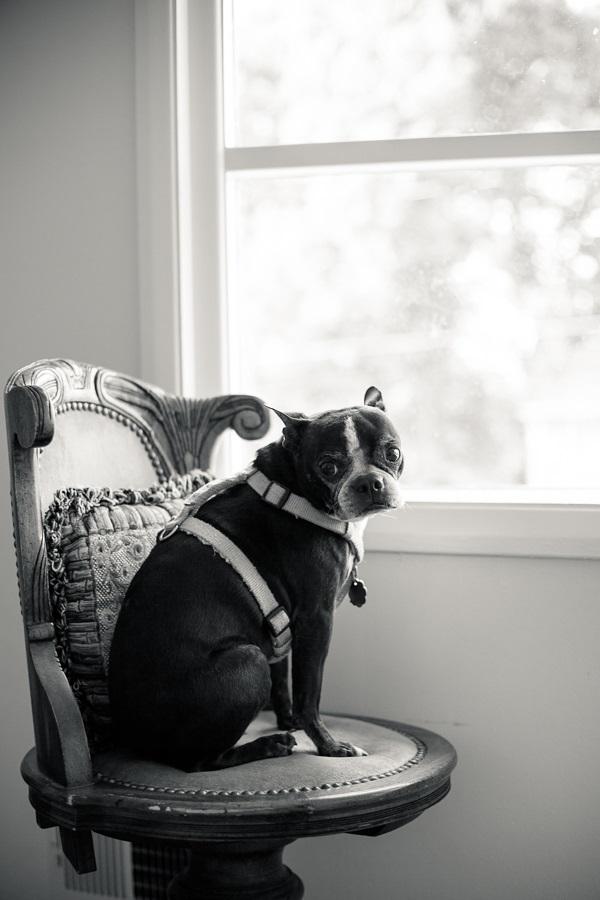 © Hannele Lahti, A Dog Photographer | Boston Terrier on chair, on location dog photography