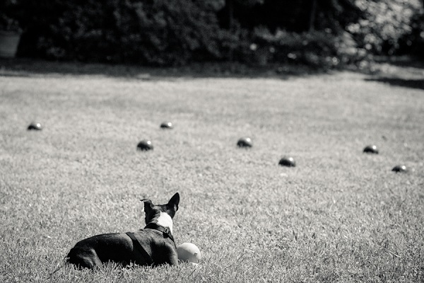 © Hanelle Lahti , A Dog Photographer | Too many choices in Haymarket, VA, Boston Terrier photos