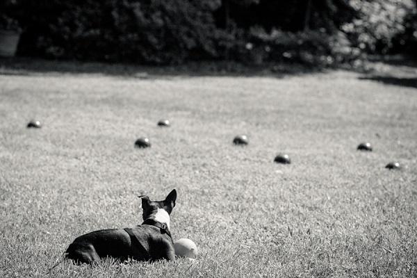 © Hanelle Lahti , A Dog Photographer | Too many choices in Haymarket, VA, Boston Terrier photos