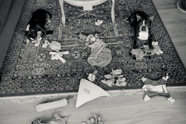© Hannele Lahti, A Dog Photographer | Boston Terriers and their toys, on location dog photos, photojournalism