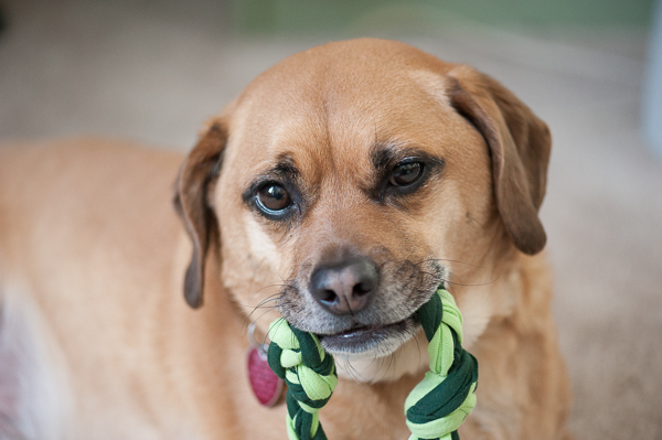 © Daily Dog Tag | Puggle-with-diy-chew-toy, healthy-weight-for-dogs