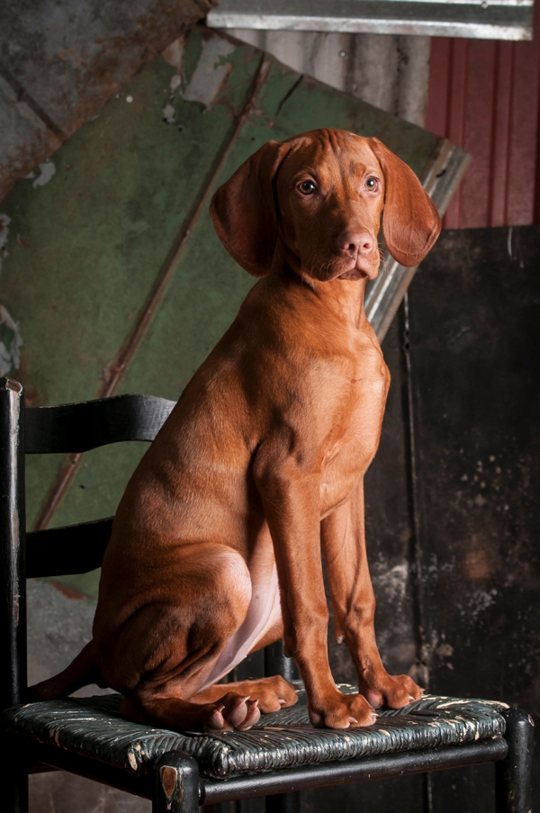 © J Catherine Photography | Vizsla-puppy-studio-photography