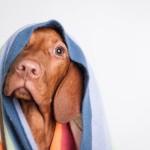 © J Catherine Photography , Vizsla-puppy