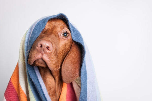 © J Catherine Photography | Vizsla-puppy-studio-portraits