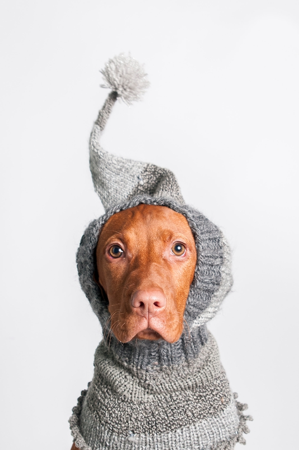 © J Catherine Photography |studio-pet-photography, Vizsla-puppy-wearing-hat