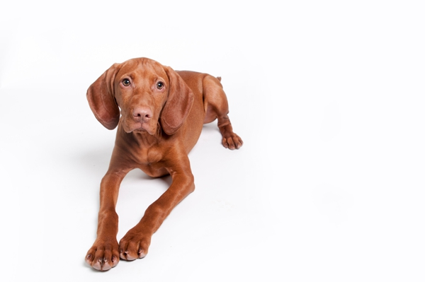 © J Catherine Photography | studio-photography, Vizsla-puppy-white-background