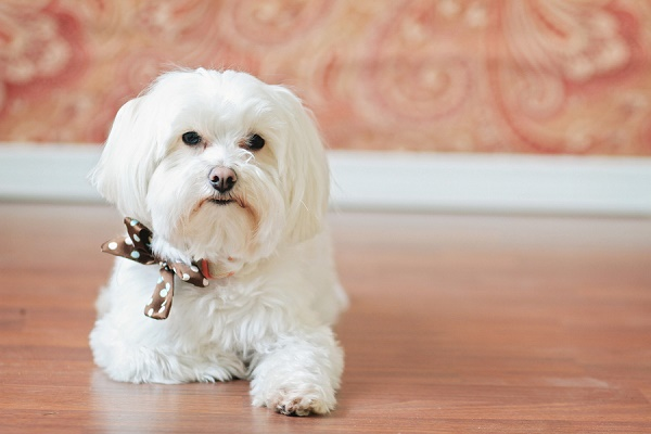 © Lacie Lauree Photography | Maltese wearing polka dot bow tie, dog-photography