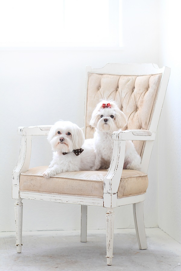 © Lacie Lauree Photography | Maltese-studio-photography, dogs-on-furniture