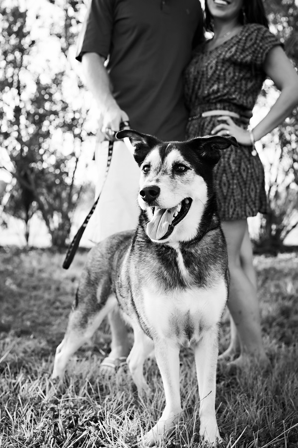 © Limelight Photography | Husky mix, engagement pictures with dog