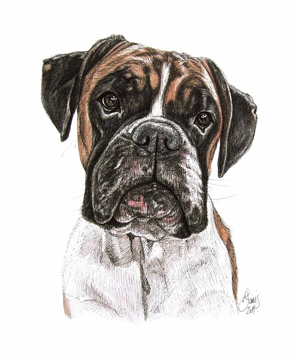 © Louise Jarvis | Boxer illustration, World of Dogs Volume 1