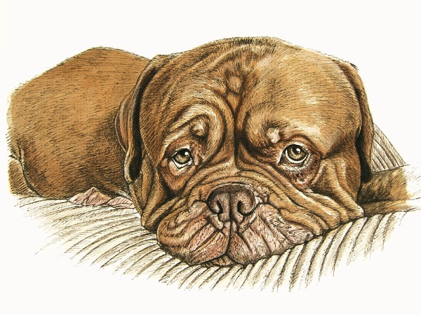 © Louise Jarvis | dogue do bordeaux percy, The World of Dogs-An Artist's Perspective
