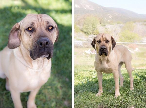 © RDP PhoDOGraphy | Adoptable Mastiff mix, dog-adoption-photography