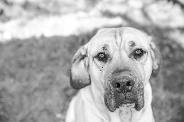 © RDP PhoDOGraphy | Cricket-adoptable-Mastiff-mix,  photographer-helps-homeless-pets