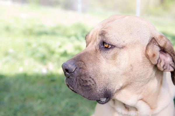 © RDP PhoDOGraphy | Cricket-adoptable-Mastiff-mix, San Bernardino Great Pyrenees Association of Southern California Rescue