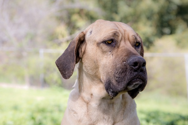 © RDP PhoDOGraphy | Mastiff  Boerboel looking for forever home, dog-adoption-photos