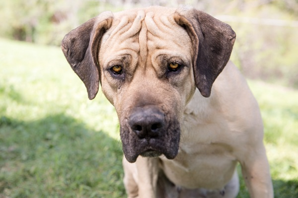 © RDP PhoDOGraphy | Boerboel looking for her forever home | dog-adoption-photos