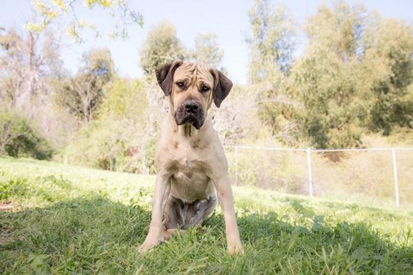 © RDP PhoDOGraphy | Adoptable-Mastiff, Dog-portraits