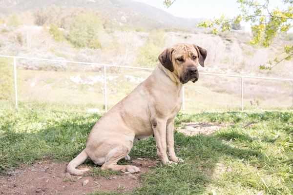 © RDP PhoDOGraphy |Cricket-adoptable-Mastiff-mix, San Bernardino Great Pyrenees Association of Southern California Rescue