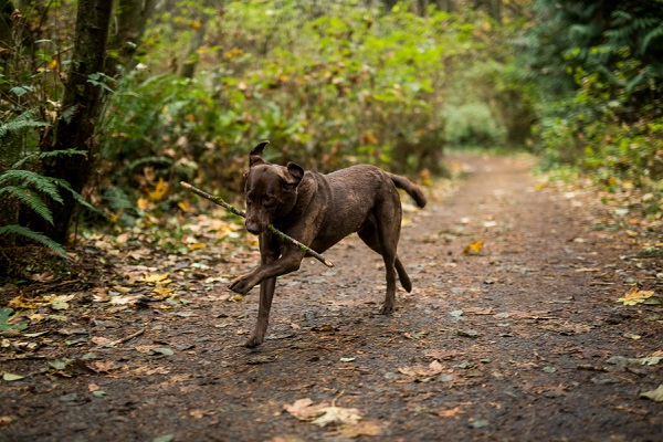 © Salt & Pine Photography | Chocolate Labrador Retriever, stick, dog in woods
