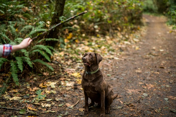 © Salt & Pine Photography  | Chocolate Labrador Retriever, waiting for stick,