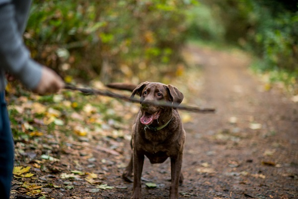 © Salt & Pine Photography | Chocolate-Labrador-Retriever, waiting for stick