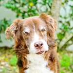 Simply Pawfect Photography Benjamin Springer Spaniel  Australian Shepherd adoptable-dog-1