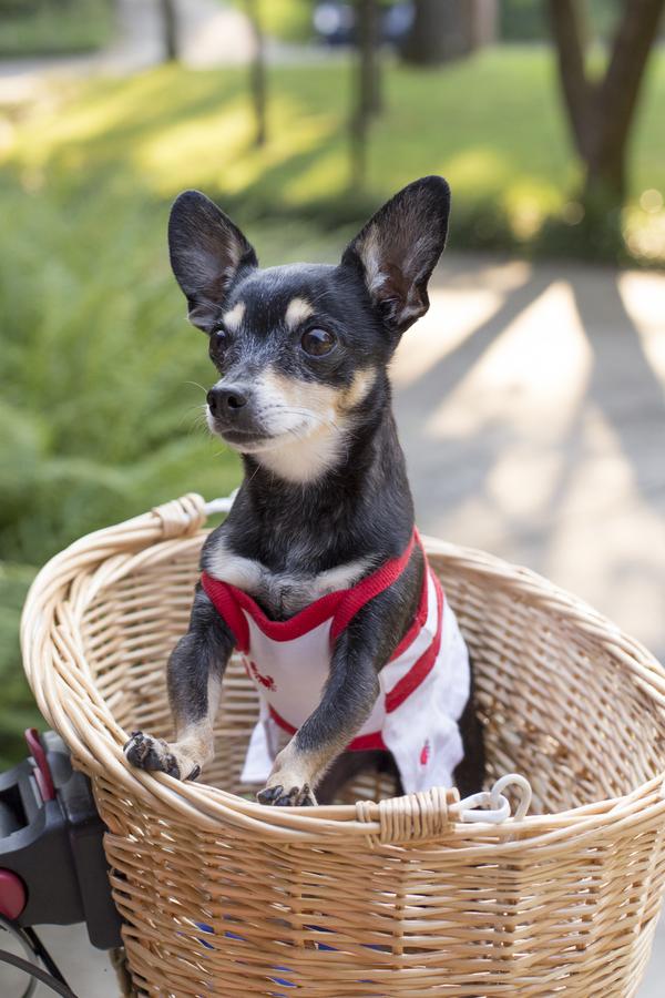 © Cavin Elizabeth Photography   adorable Chihuahua photos