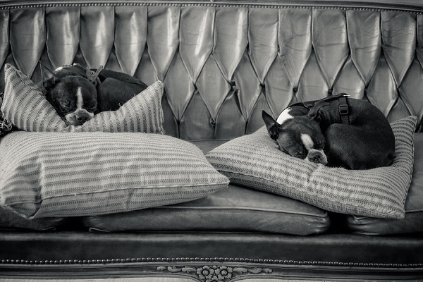 © Hannele Lahti, dog photographer | Boston Terriers taking over the couch