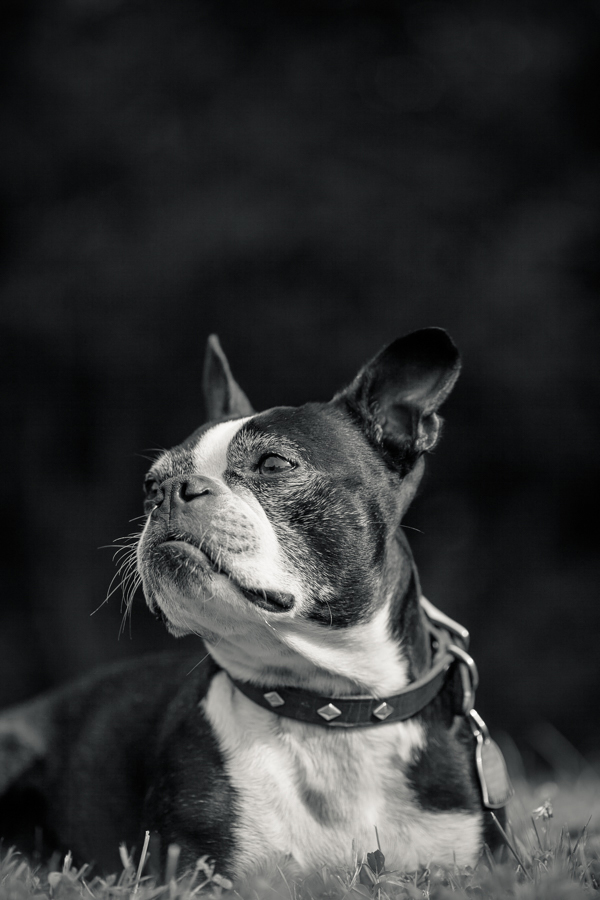 © Hannele Lahti, Dog Photographer | Handsome Boston Terrier, black and white dog portraits