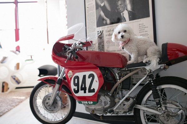 © Paw Prints| Pet Portraits by Charlene | Bichon-Frise-on-motorbike, Pittsburgh Pet Photographer