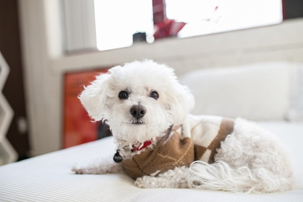 © Paw Prints| Pet Portraits by Charlene |Bichon-Frise, Pittsburgh Pet Photographer