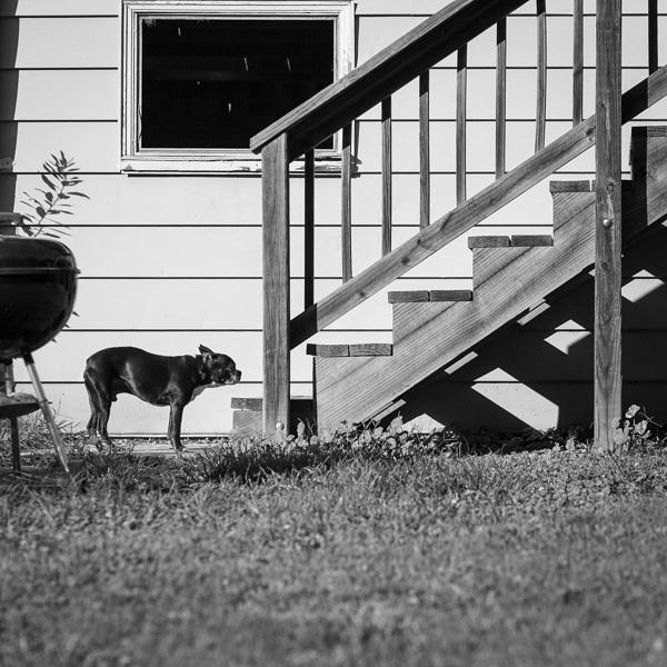 © Hannele Lahti, A dog photographer | Boston Terrier in suburban backyard, dog photojournalism