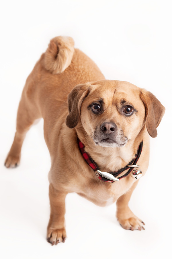 Puggle in Buffalo  plaid collar Humane-CNY-alumni-Rescue, Syracuse dog photography
