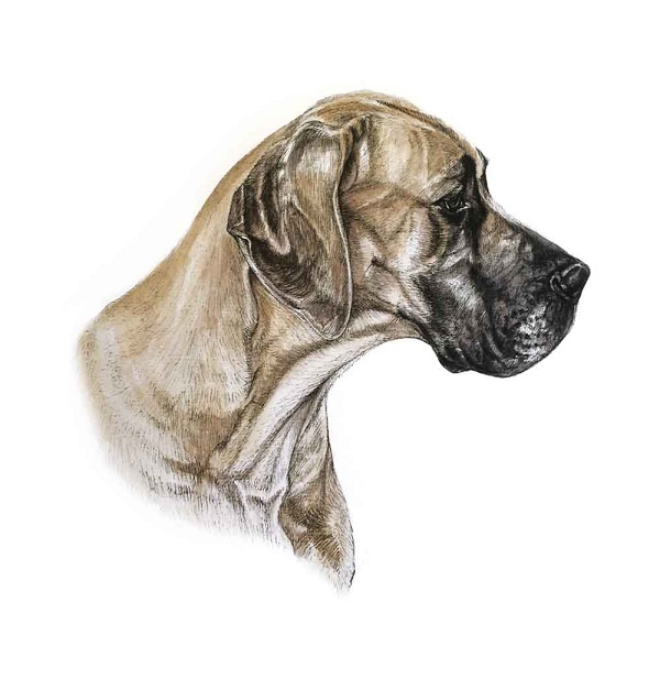 © Louise Jarvis  | Great Dane illustration,  World of Dogs volume 1