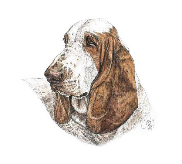 © Louise Jarvis  basset hound, Pen and watercolour dog illustrations, artbook